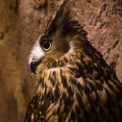 Tawny Fish Owl